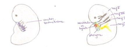 Schémas des arcs branchiaux nécessaire au développement de la langue de bébé