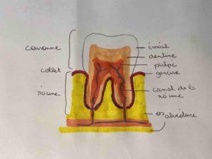 Dessin anatomique de la dent et de ses constituant.